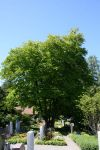 Cercidiphyllum japonica 077-(1)w