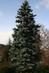 Picea pungens Kosterii 009w