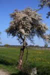 Prunus spinosa 018w