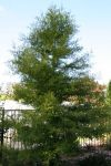 Taxodium distichum 171w